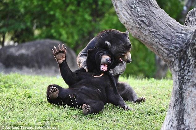Treino louco: meninos russos afiam jogo de solo com filhote de urso
