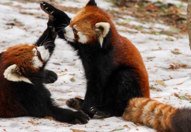 Jiu-Jitsu in the wild: an instinctive duel of red pandas