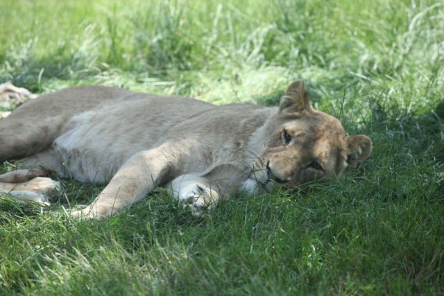 lion_resting-2
