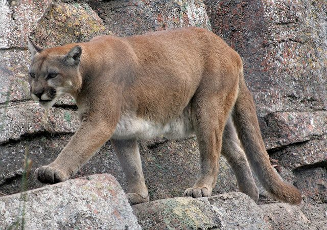 Runner chokes mountain lion to death in self-defense